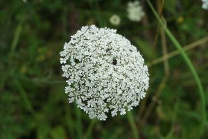 'Queen Anne's Lace'
